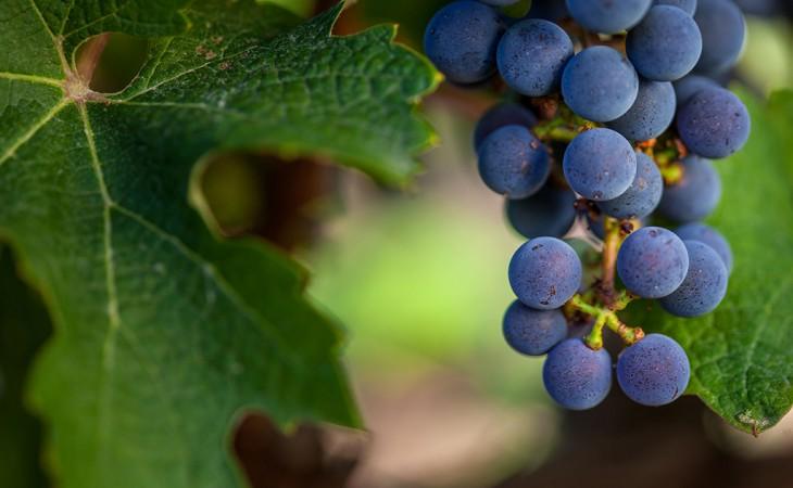 יין ישמח לבב אנוש; כרם עין זיוון