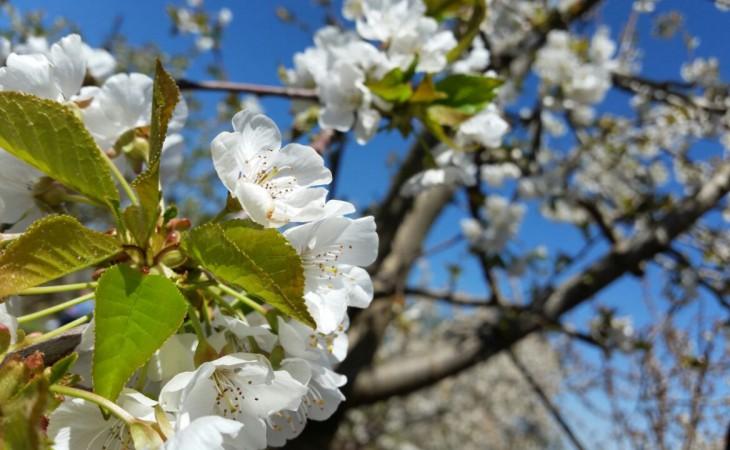 חגיגת פריחת עצי הדובדבן בבוסתן בראשית | 7-13.4