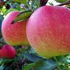תפוח-גאלה